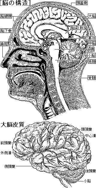 脳や脊髄、神経の構造と働きについて