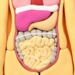 お腹の中の戦争・善玉菌と悪玉菌の腸内バランス